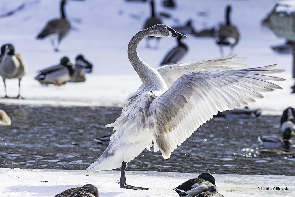 """Congratulations to Linda Gillespie for winning the recent Winter Waterfowl Assignment with the image, """"Lord of the Dance."""""""
