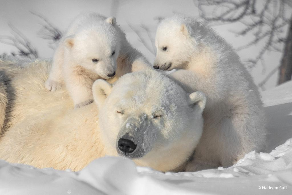 """Today's Photo Of The Day is """"Tender Moments"""" by Nadeem Sufi. Location: Churchill, Manitoba."""