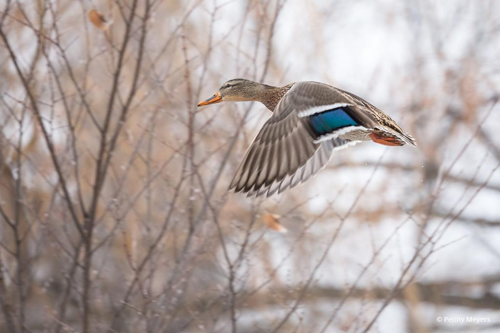 "Today's Photo Of The Day is ""Female Mallard in Flight"" by Penny Meyers. Location: Detroit Lakes, Minnesota."