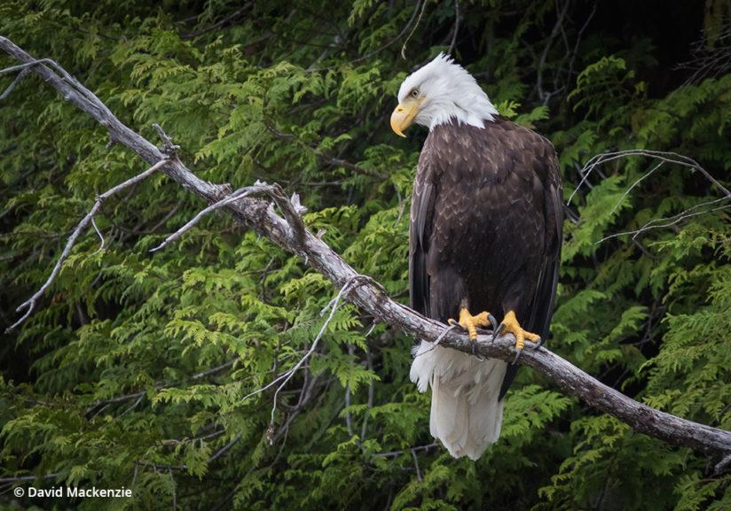 Bald eagle in the Great Bear Rainforest.