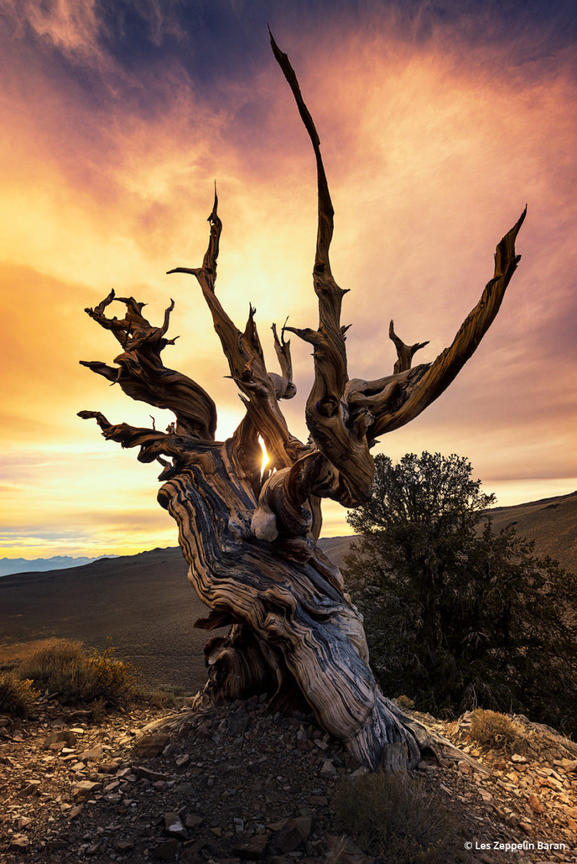 "Today's Photo Of The Day is ""Watchtower"" by Les Zeppelin Baran. Location: Ancient Bristlecone Pine Forest, White Mountains, California."