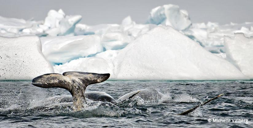 Narwhal, Canadian Arctic