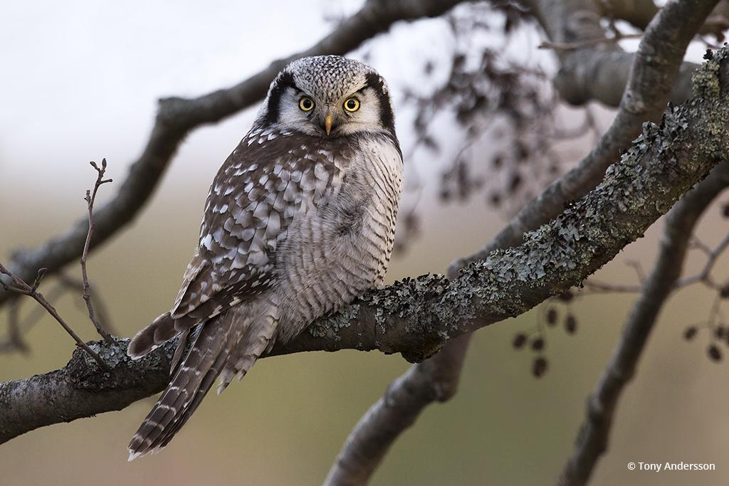 """Northern Hawk-Owl"" By Tony Andersson"
