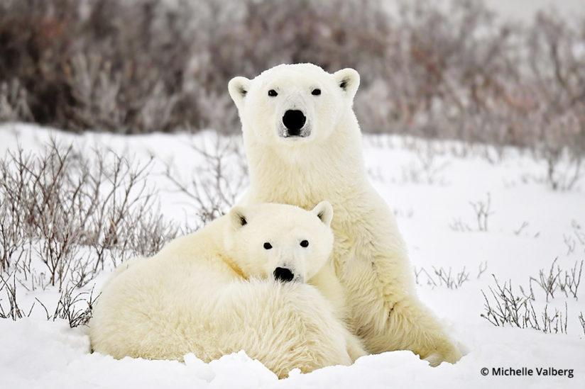 Polar Bears, Canadian Arctic