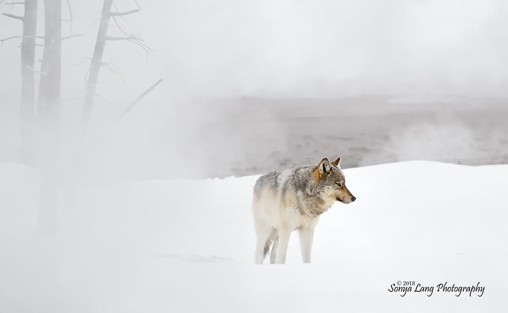 "Today's Photo Of The Day is ""Spirit of Winter"" by Sonya Lang. Location: Yellowstone National Park, Wyoming."
