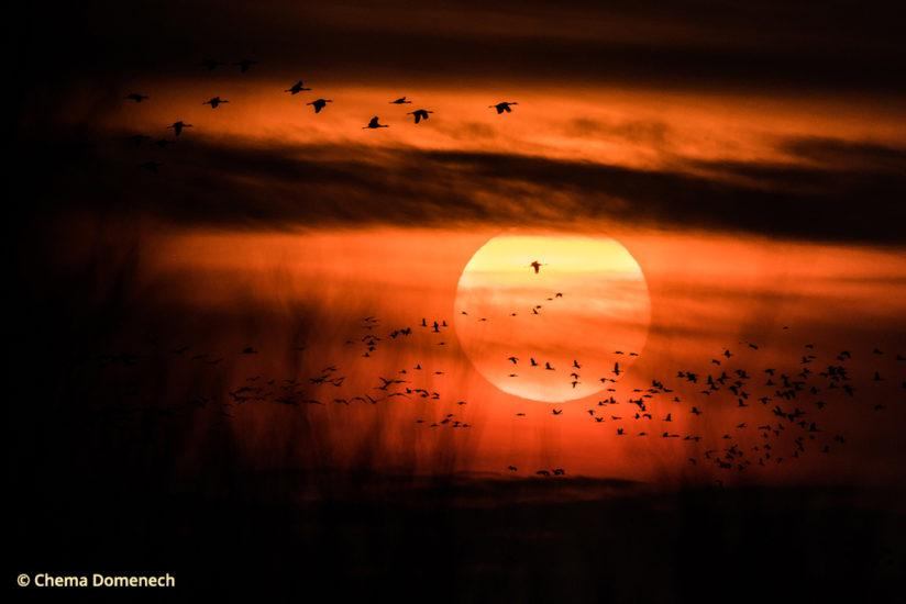 Sandhill crane migration, sunset on the Platte River
