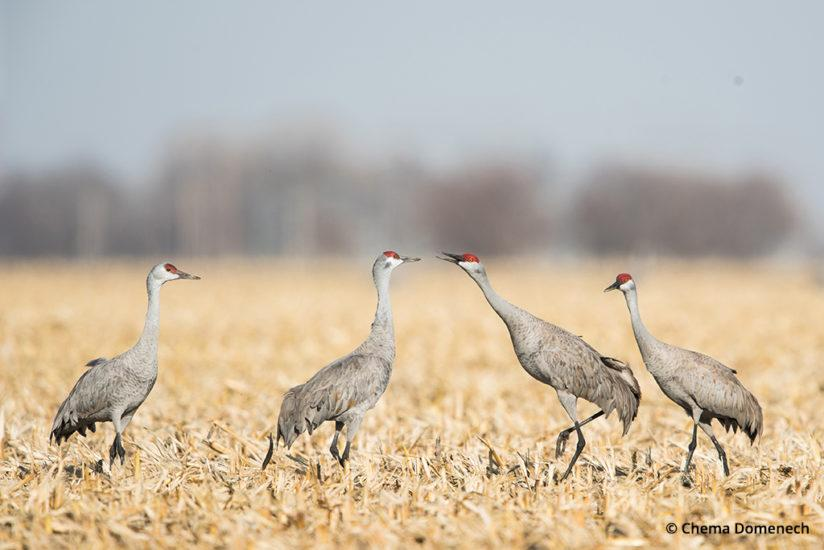 Sandhill crane migration, a family of cranes in a Nebraska corn field