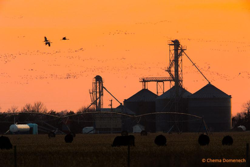Sandhill crane migration, flight over farm silos