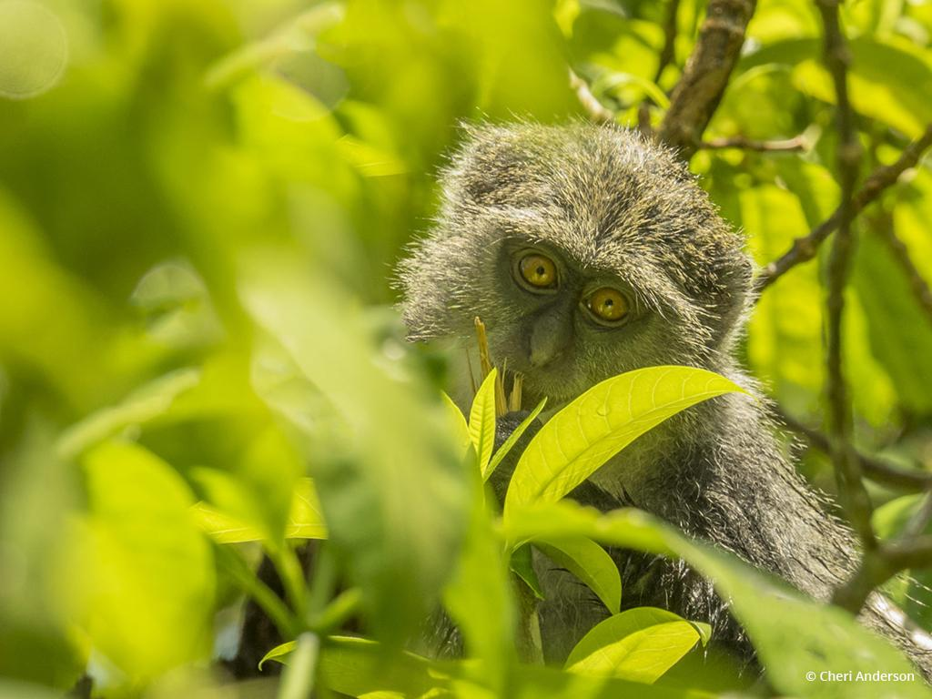 "Today's Photo Of The Day is ""I See You!"" by Cheri Anderson. Location: Jozani Forest, Zanzibar."