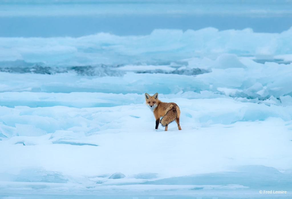 """Today's Photo Of The Day is """"Red Fox on Blue Ice"""" by Fred Lemire. Location: Amherst Island, Lake Ontario, Canada."""