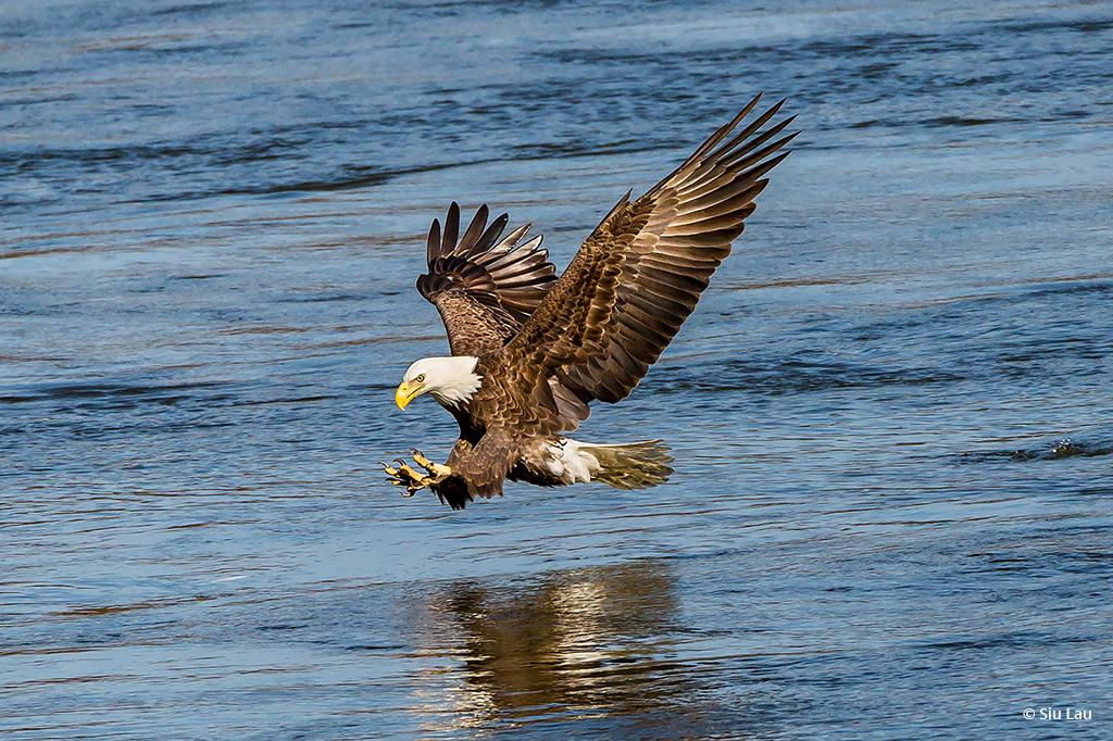 "Today's Photo Of The Day is ""Eagle Fishing"" by Siu Lau. Location: Conowingo, Maryland."