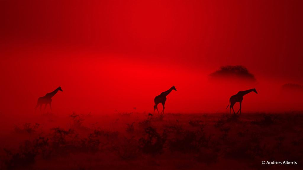 "Congratulations to Andries Alberts for winning the recent Pick a Color Assignment with the image, ""Giraffe Silhouette – Out of Red Dust and Smoke they came."""