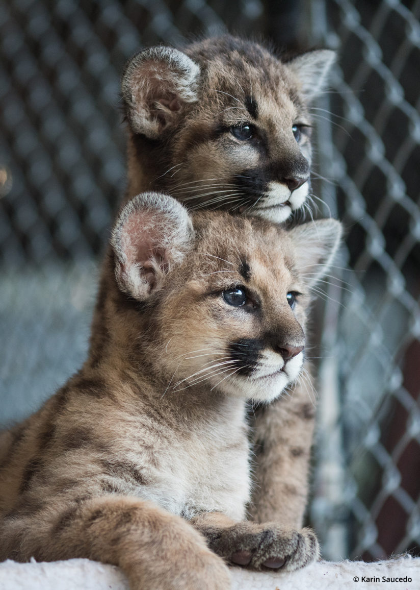 wildlife rescue photography cougar kittens