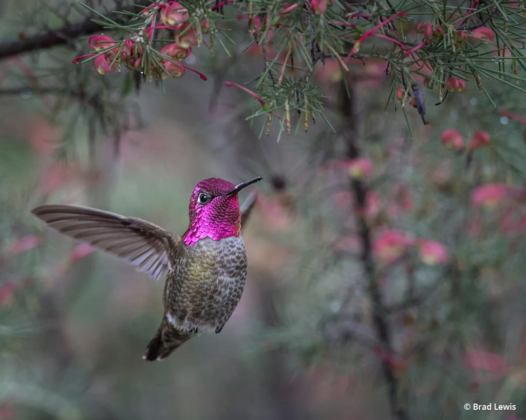 "Today's Photo Of The Day is ""Anna's Hummingbird Hiding in the Flowers"" by Brad Lewis. Location: UCSC Arboretum and Botanic Garden, California."