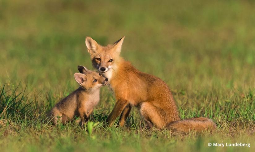 Photographing foxes, vixen nuzzles her kit