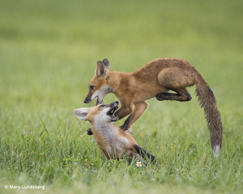 Photographing foxes, fox kits play leapfrog