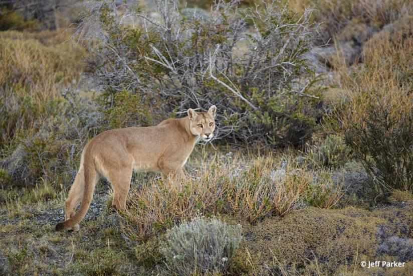 pumas of Patagonia, mother puma on the hunt for dinner
