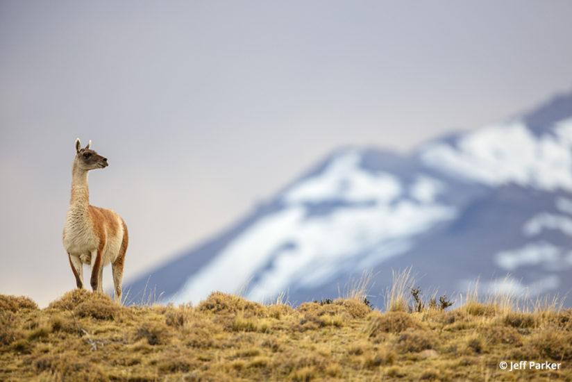 one of the primary prey pumas of Patagonia is the guanaco