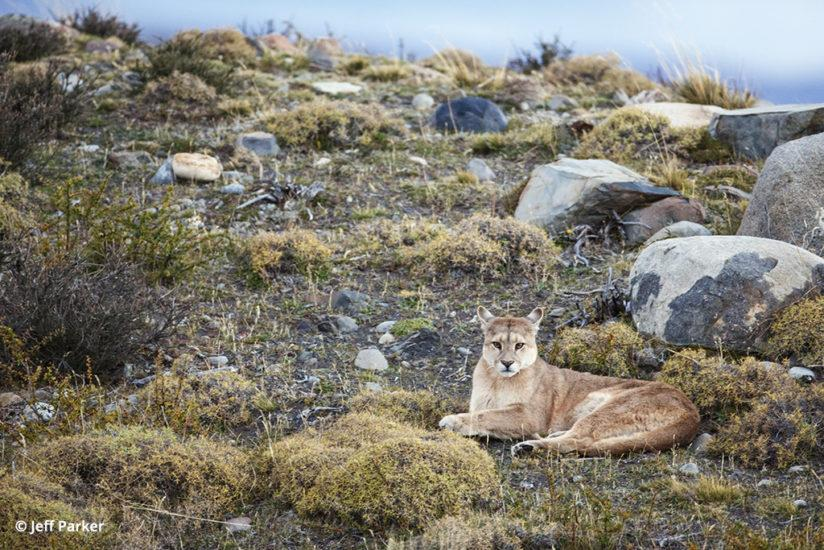 Hermanita is one of the often observed pumas of Patagonia