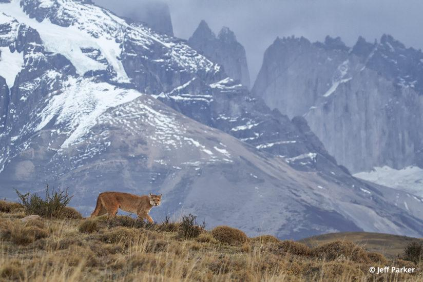 photographing the pumas of patagonia