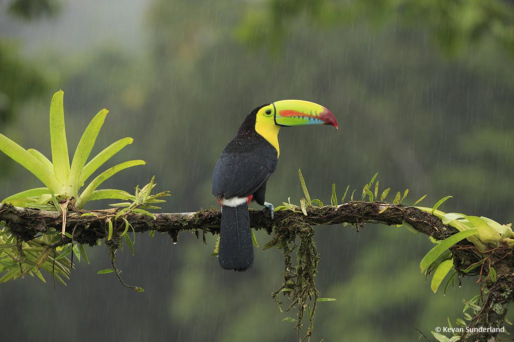 Keel-Billed Toucan In The Rain By Kevan Sunderland