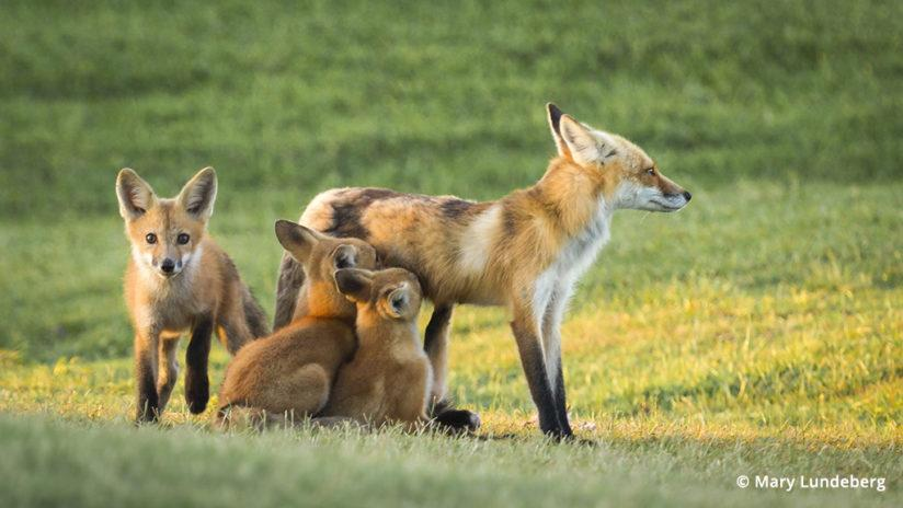 Tips For Photographing Foxes Outdoor Photographer