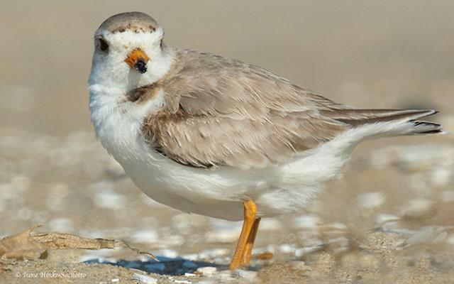 Piping Plover on beach at Chincoteague NWR.