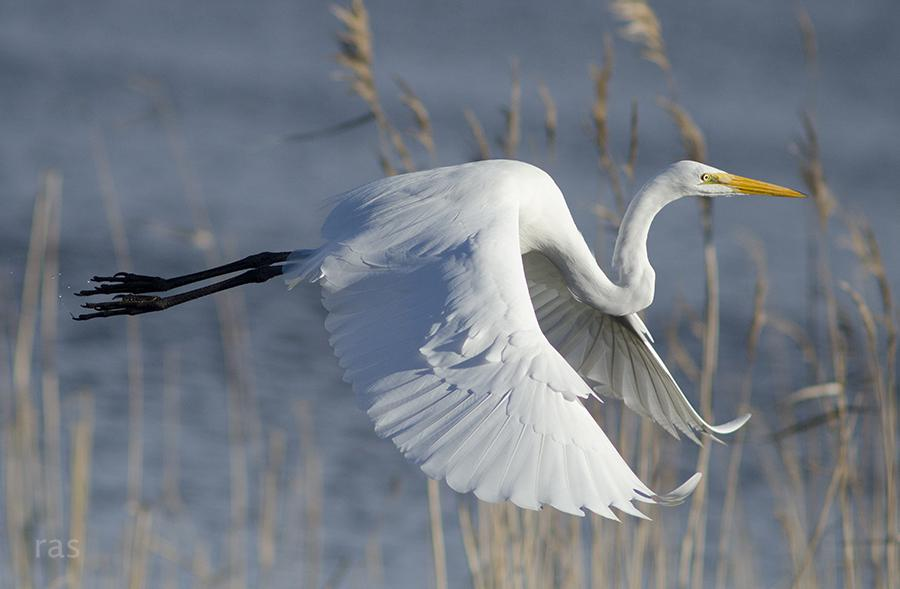 "Today's Photo Of The Day is "" Great Egret"" by Richard Slack. Location: Mattamuskeet National Wildlife Refuge, North Carolina."