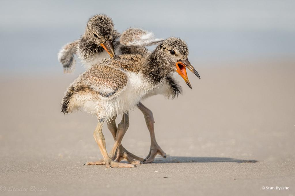 "Congratulations to Stan Bysshe for winning the recent Wildlife in Motion assignment with the image, ""Sibling Rivalry."""