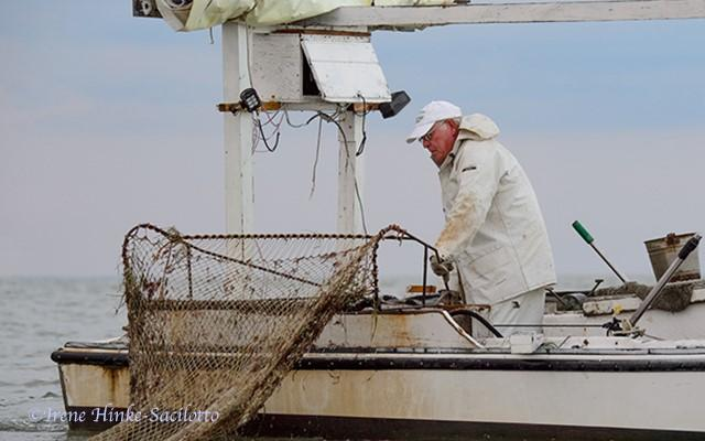 Waterman lifting soft crab scrape in Tangier Sound.