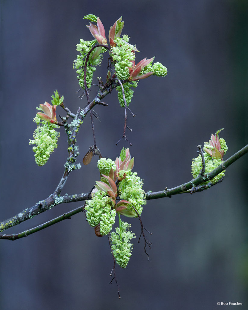 "Today's Photo Of The Day is ""Big Leaf Maple Blooms"" by Bob Faucher. Location: Washington."