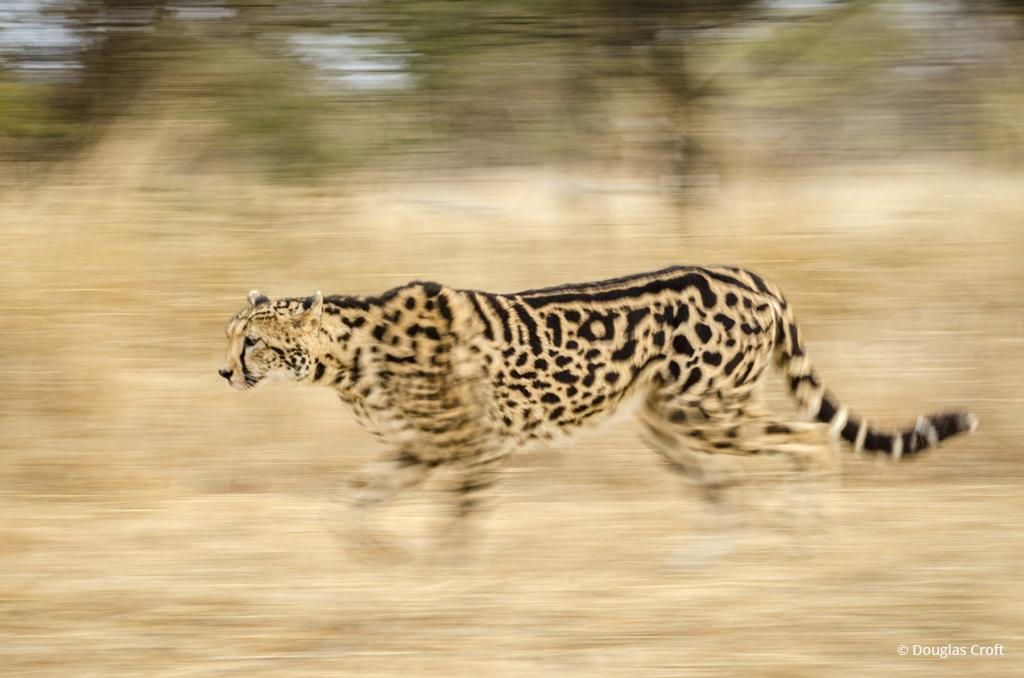 "Today's Photo Of The Day is ""Cheetah in Motion"" by Douglas Croft. Location: Hoedspruit, South Africa."