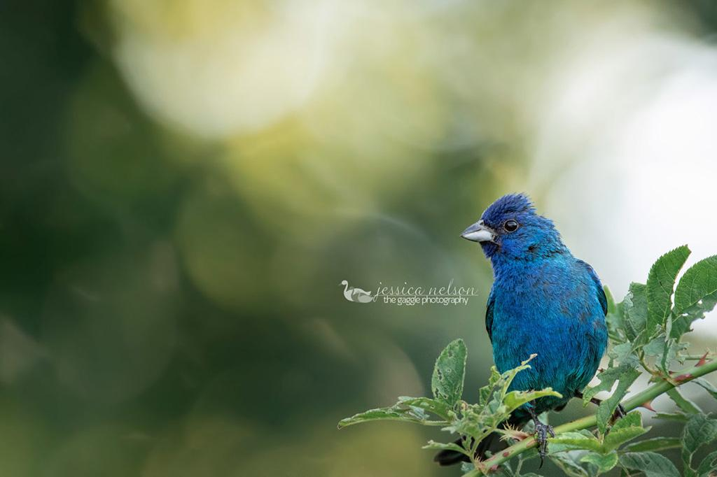 """Today's Photo Of The Day is """"Indigo Bunting"""" by Jessica Nelson."""