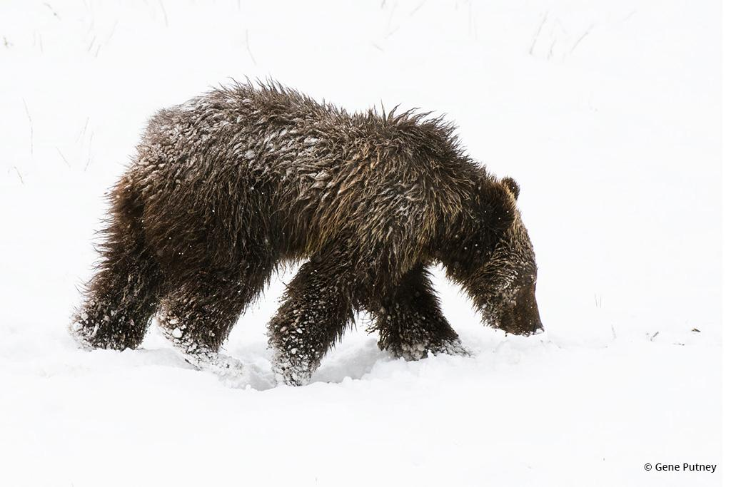 Congratulations to Gene Putney for winning the recent Photographic Motivation Assignment with the image Grizzly Bear Cub.