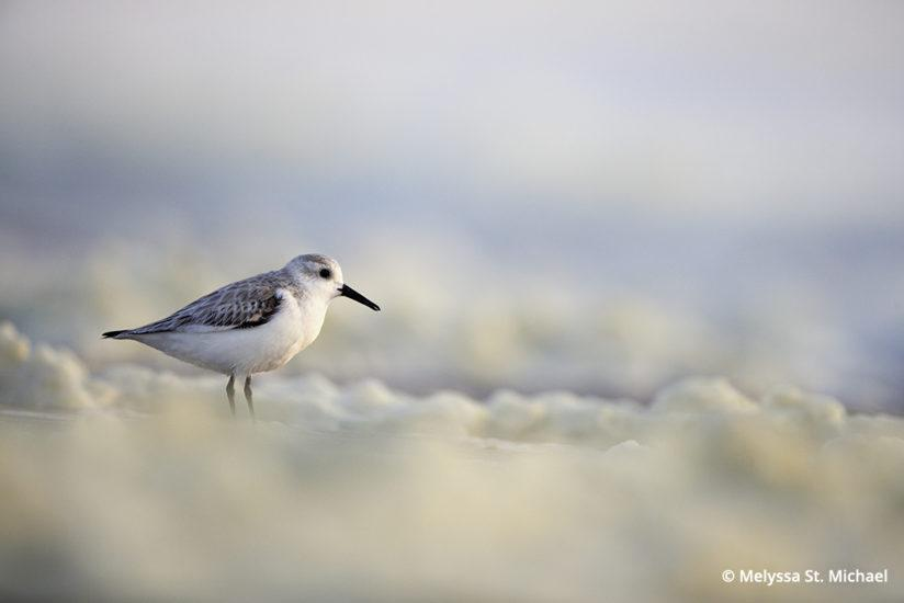 Photographing shorebirds, sanderling in seafoam