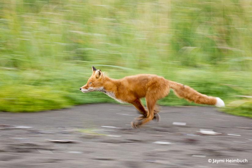 Panning shot of a red fox in Katmai National Park