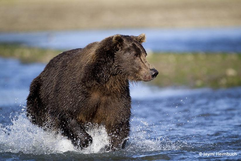 Adult male brown bear chasing salmon in Katmai National Park