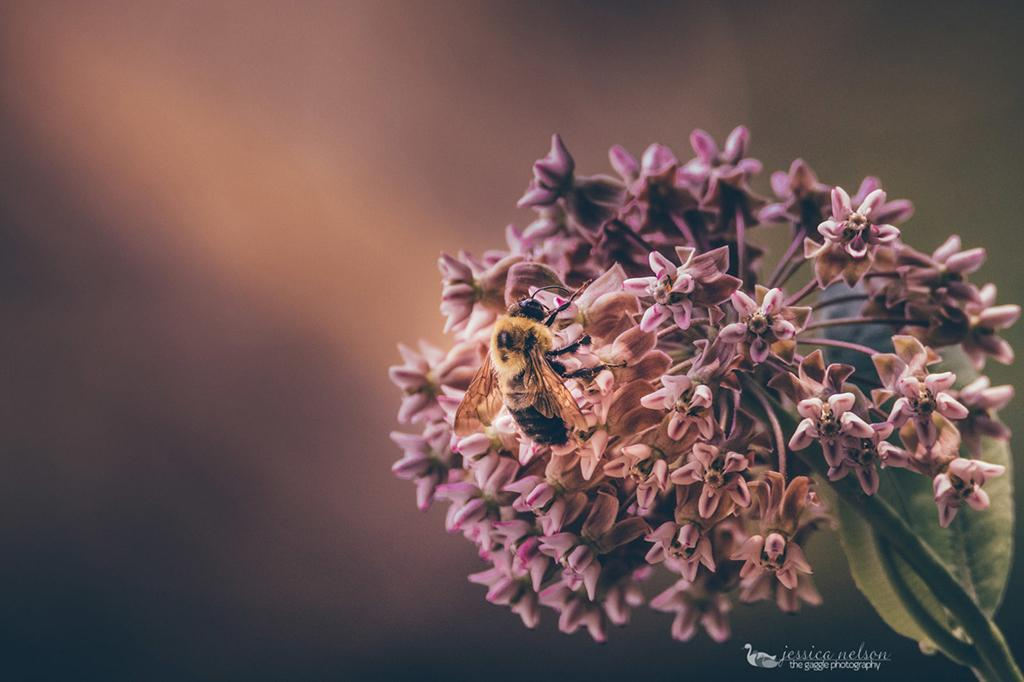 "Today's Photo Of The Day is ""Bumblebee on Milkweed"" by Jessica Nelson."