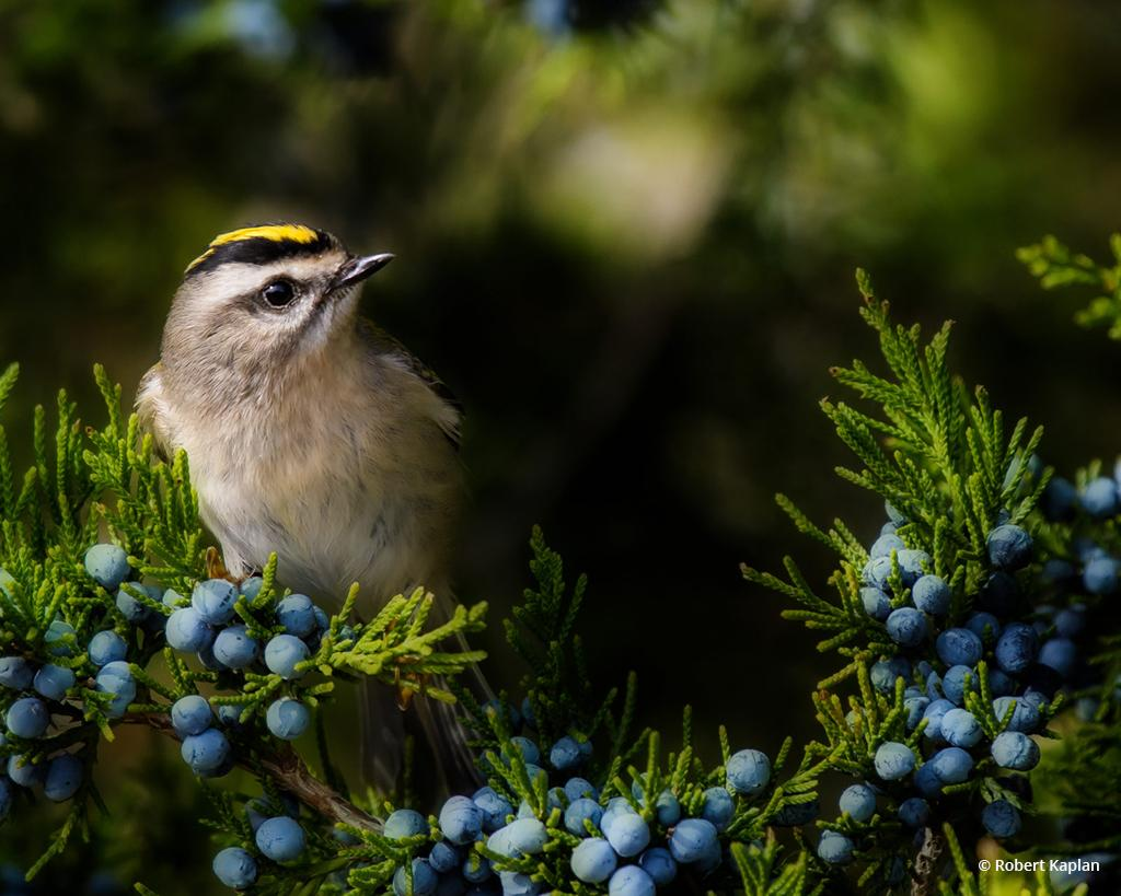 "Today's Photo Of The Day is ""Golden Crowned Kinglet"" by Robert Kaplan. Location: Jamaica Bay Wildlife Preserve, New York."