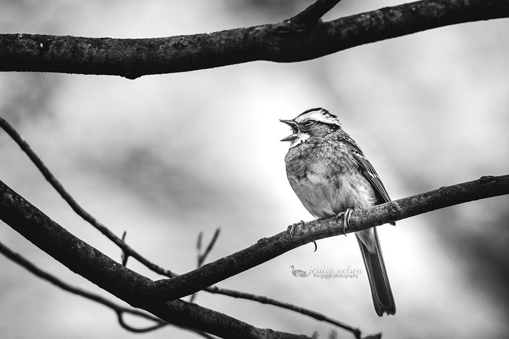 "Today's Photo Of The Day is ""White Throated in BW"" by Jessica Nelson. Location: Maryland."