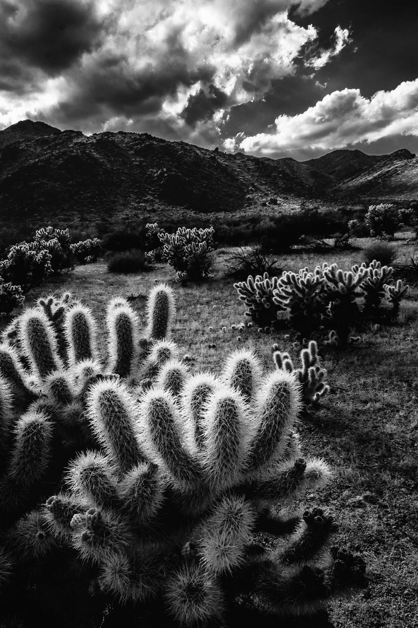 "Today's Photo Of The Day is ""Cholla in the Sun"" by Laura Roberts. Location: Joshua Tree National Park, California."