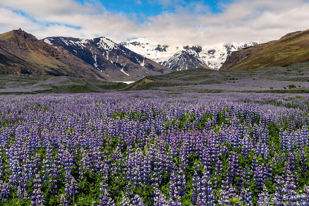 "Today's Photo Of The Day is ""Lupines and Hvannadalshnúkur"" by Tom Elenbaas. Location: Southern Iceland."