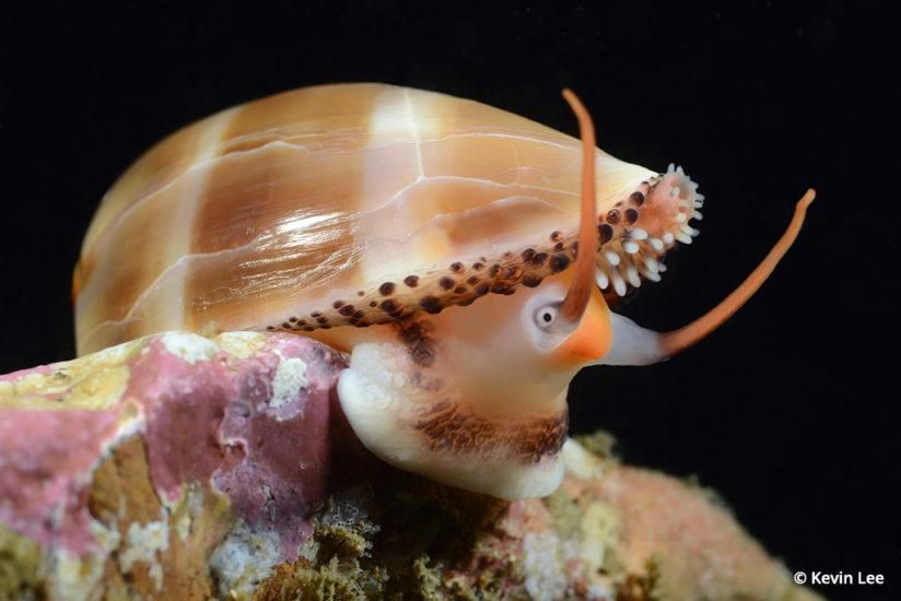 Photographing marine biology, Chestnut cowry
