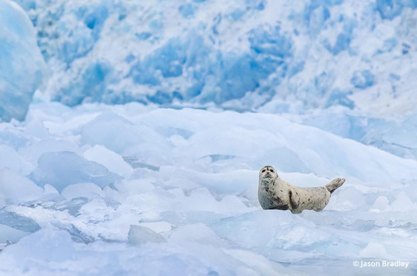 Inside Passage: harbor seal rests on a patch of ice