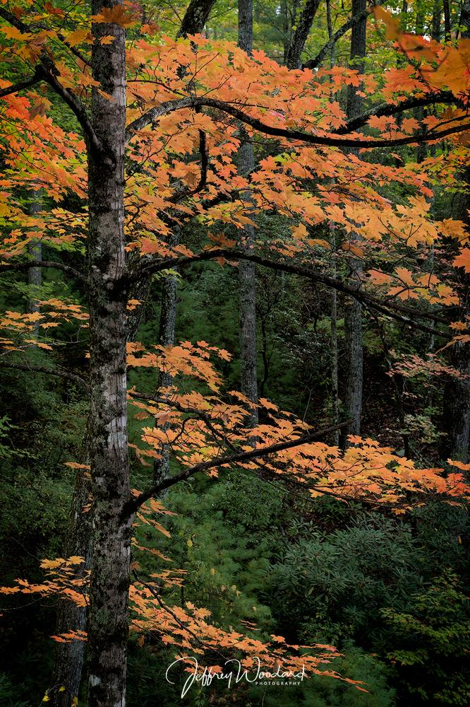 "Today's Photo Of The Day is ""Fiery Maple"" by Jeff Woodard. Location: Great Smoky Mountains National Park, Tennessee."